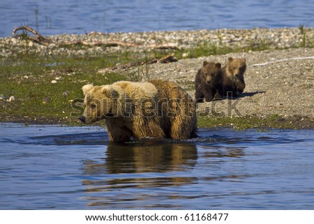 Let's Go Swimming - A mother bear is trying to entice her cubs to join her for a swim in Katmai National Park, Alaska - stock photo