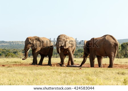Lets GO - The African bush elephant is the larger of the two species of African elephant. Both it and the African forest elephant have in the past been classified as a single species. - stock photo