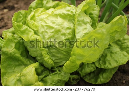 Lettuce (all the year round) growing in soil  - stock photo