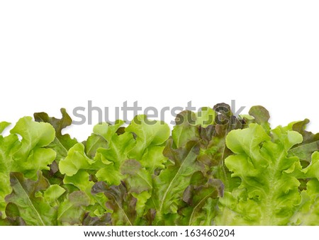 lettuce and white Background  - stock photo
