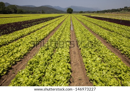 lettuce cultivated field ready for harvesting