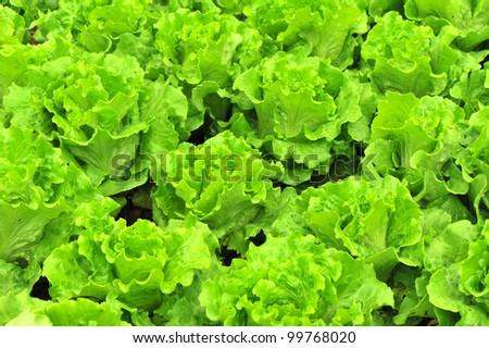 lettuce farm - stock photo