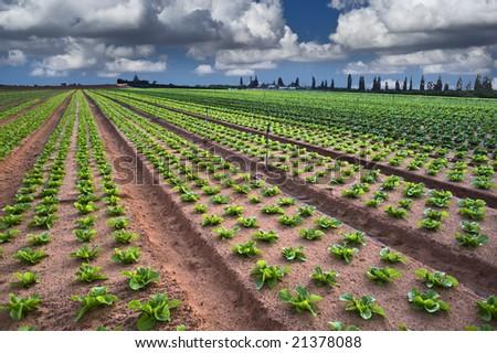 lettuce field in the Sharon region, Israel - stock photo