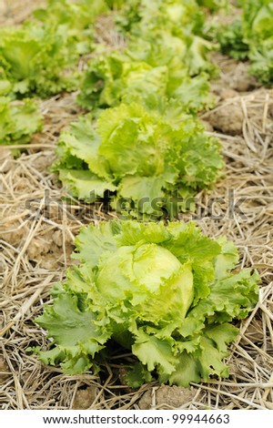 Lettuce - green lettuce -  organic - vegetable