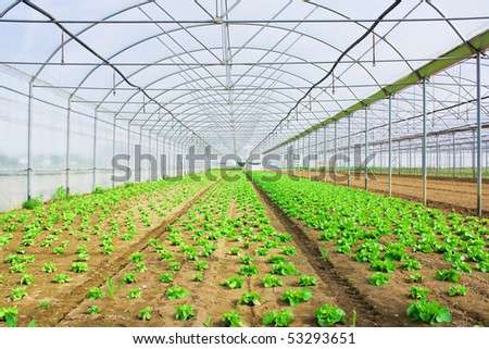 Lettuce growing in a greenery or glasshouse