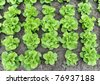 lettuce growing in soil - stock photo
