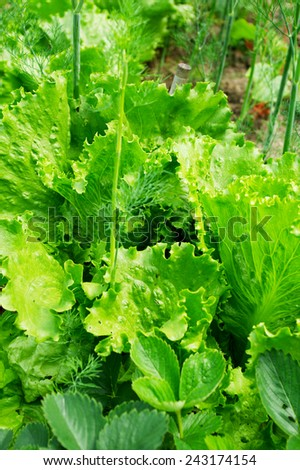 Lettuce growing in the garden. - stock photo