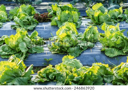 lettuce growing in the winter garden ,agricultural productivity in thailand - stock photo