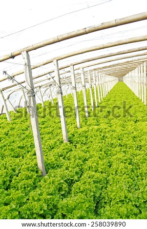 Lettuce grown in a plantation  - stock photo