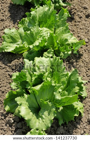 Lettuce iceberg, bright green plants in the garden - stock photo