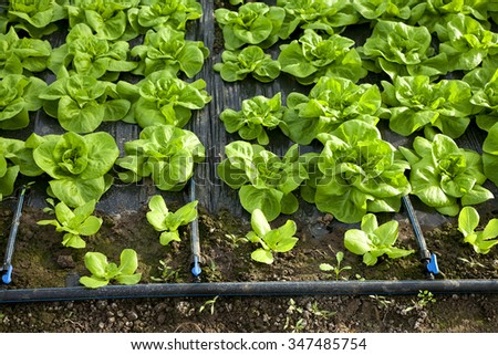 lettuce in greenhouses - stock photo