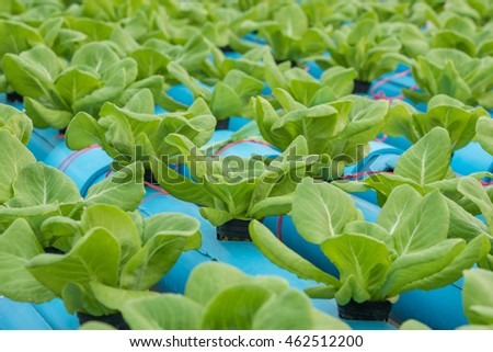 Lettuce in hydroponic farm