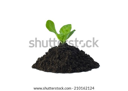 Lettuce in soil isolated on white background - stock photo