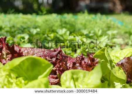 Lettuce (Lactuca sativa) is an annual plant of the daisy family Asteraceae. It is most often grown as a leaf vegetable.Vegetable garden.  Household plot. Dacha. - stock photo