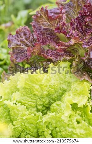 Lettuce lollo rosso and lollo biondo - stock photo