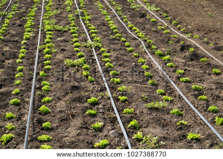 lettuce on drip irrigation