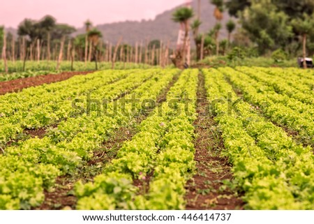 Lettuce patch, in the vegetable field.