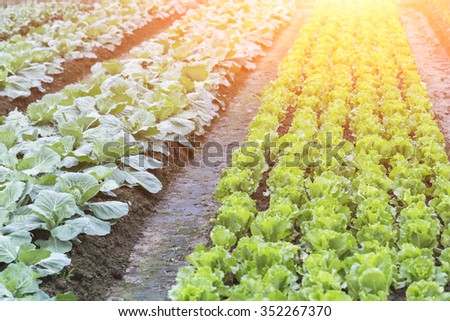 lettuce patch in the vegetable field under sunshine - stock photo