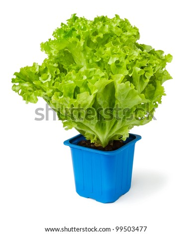 lettuce plant in a blue pot against white background
