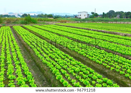 lettuce plant in field