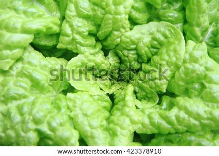 lettuce plant texture as nice vegetable background