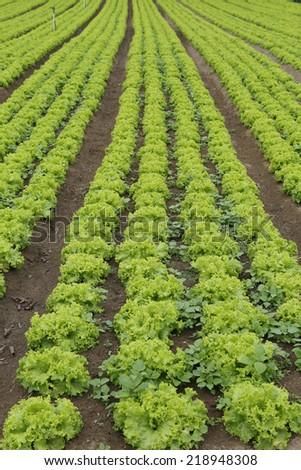 lettuce plantation of familiar agriculture in brazil - stock photo