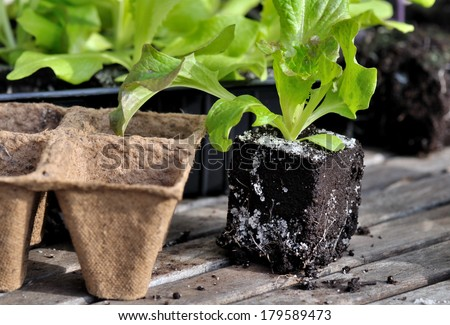 lettuce plants and biodegradable pots on wooden board