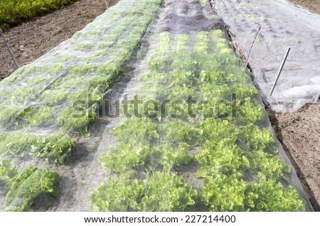 Lettuce plants under a protective net in eenbiologische vegetable garden in Voorschoten, Netherlands. - stock photo