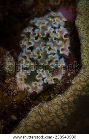 Lettuce sea slug (Tridachia crispata), Corporal Meiss dive site, Bonaire, Netherlands Antilles - stock photo