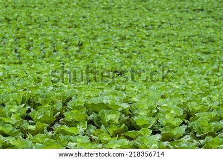 Lettuce seedlings field in Thailand - stock photo