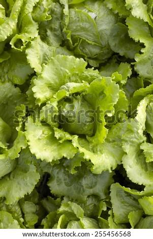 Lettuce seedlings in a field  - stock photo