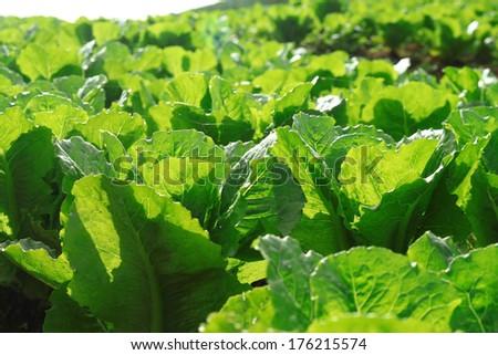 Lettuce seedlings in a field in Thailand - stock photo