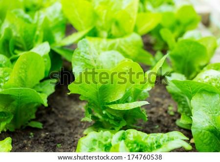 Lettuce seedlings in field - stock photo