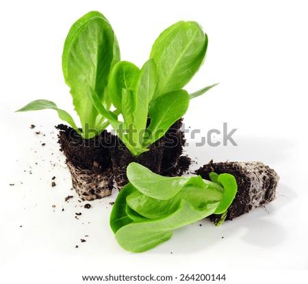 lettuce seedlings isolated on white background - stock photo