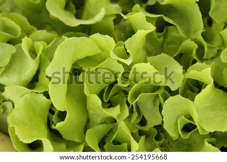 lettuce vegetable healthy food (organic and fresh food) - stock photo