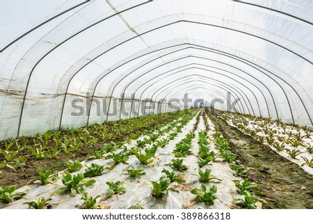Lettuce vegetables grown in the greenhouse