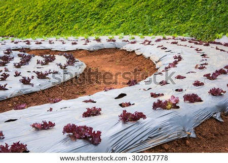 lettuce vegetables in field at Doi Ang Khang, Chiang Mai of Thailand