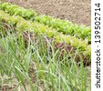 lettuces, onions and vegetables on a fertile soil. Square format./Onion and lettucces growing in a vegetable garden - stock photo