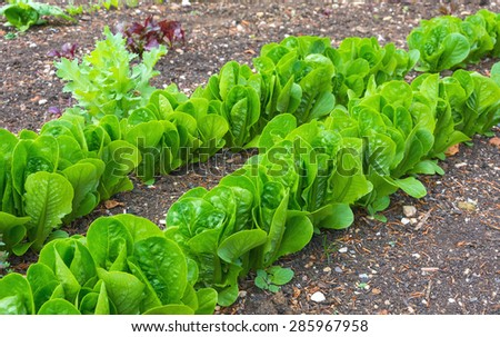 Lettuces under cultivation in an allotment garden - stock photo