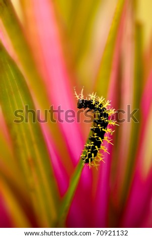 leucanella hosmera caterpilar - stock photo