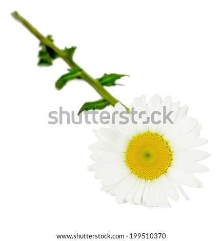 Leucanthemum vulgare, the ox-eye daisy or oxeye daisy (syn. Chrysanthemum leucanthemum), close up, isolated - stock photo