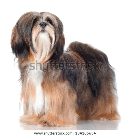 lhasa apso dog - stock photo