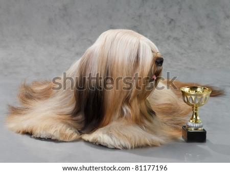 Lhasa Apso dog, lying on a gray background. Not isolated.