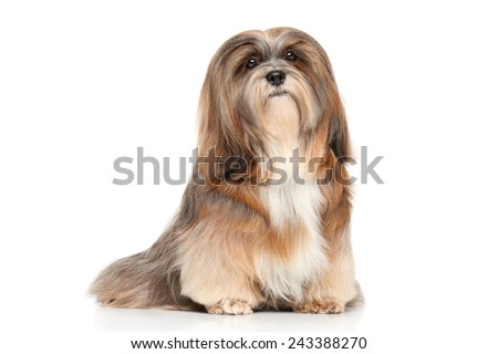 Lhasa Apso. Portrait on a white background - stock photo