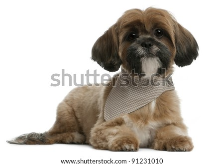 Lhassa Apso, 1 year old, lying in front of white background