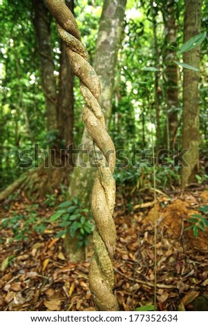 Lianas clouseup winding through the rainforest. - stock photo