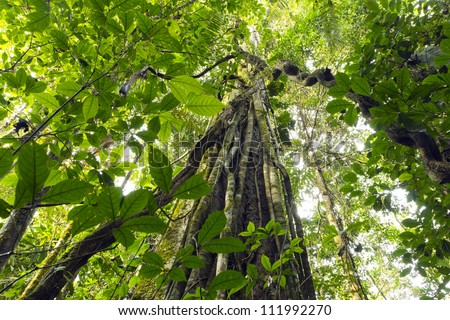 Lianas dangling from the rainforest canopy in Yasuni National Park, Ecuador - stock photo