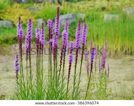 Liatris Spicata, tall Purple flowers in the garden - stock photo