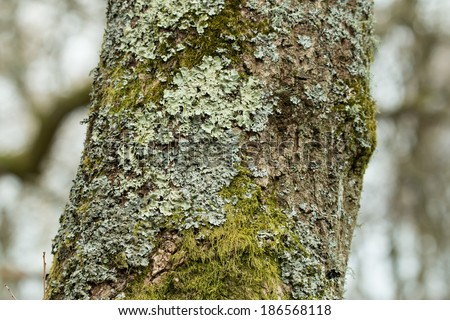 Lichen and moss growing on tree in English woodland. - stock photo
