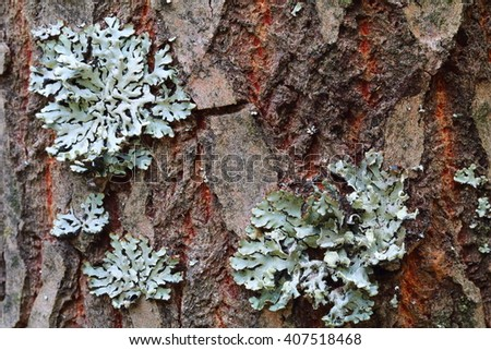 Lichen, Hypogymnia physodes growing on a tree trunk - stock photo